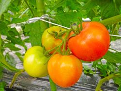 矢祭町 完熟トマト1
